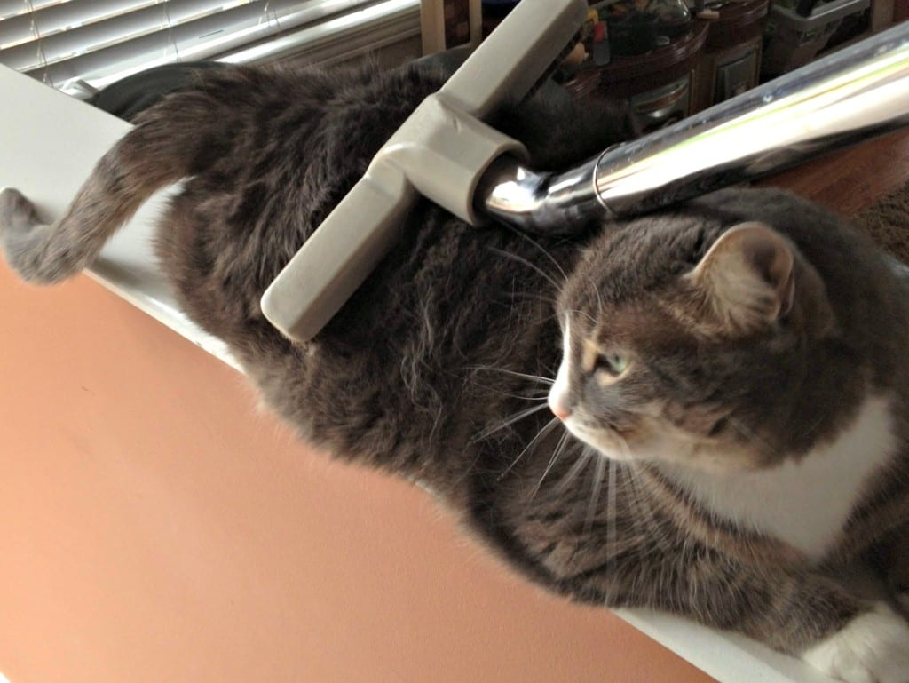 Cat being vacuumed