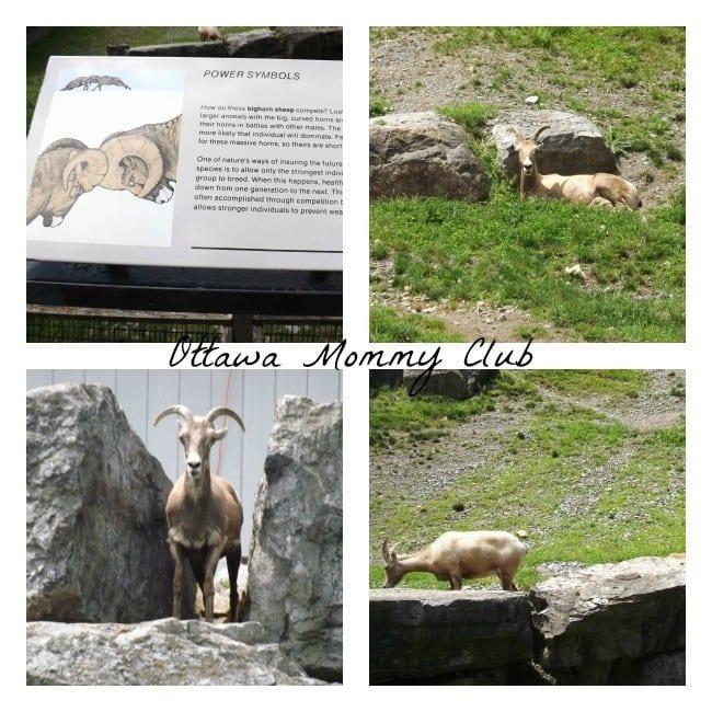 Rosamond Gifford Zoo- bighorn sheep