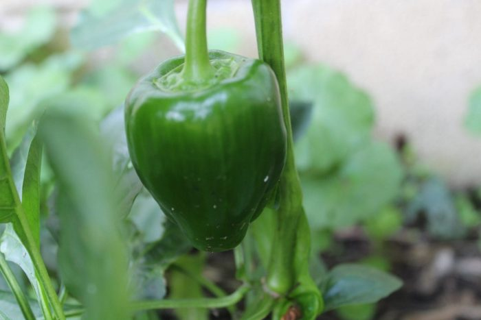 green pepper growing