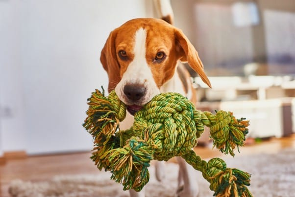 Dog fetching a toy