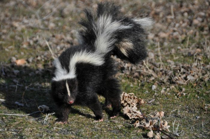Ways To Keep Skunks From Stinking Up Your House