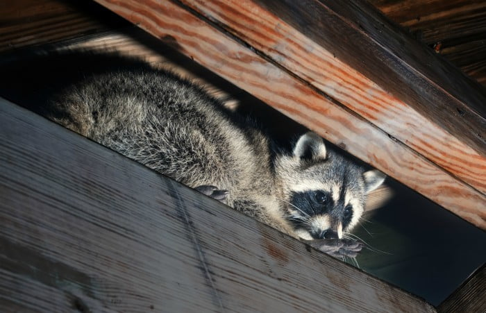 Top 5 Wildlife You Might Find In Your Ottawa Home