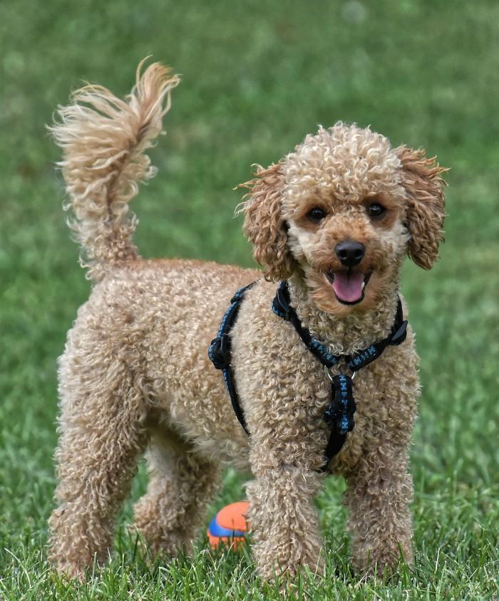 Poodle -Hypoallergenic Pet